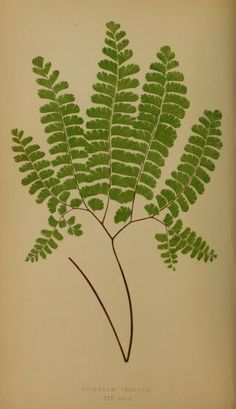 v. 3 - Ferns: British and exotic... - Biodiversity Heritage Library