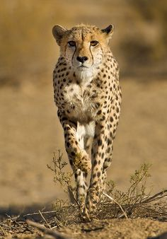"""Stalking Cheetah"" by Morkel Erasmus"