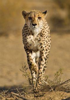 """Stalking Cheetah"" by Morkel Erasmus"