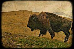 Female Buffalo ART Photos North American female bison. Art finish. by Carolyn Sandstrom Art