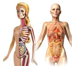 Barbie anatomy