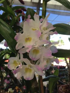 Dendrobium Spring Dream 'Kumiko' - from RF Orchids 2/14; bloomed March '16; divided & repotted April '16; rebloomed Jan '17