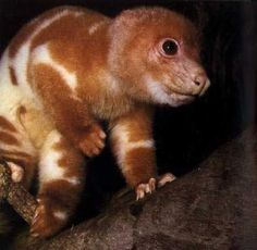 COMMON SPOTTED CUSCUS — request from @boarwoodSpilocuscus maculatus©Herbweb The Common Spotted Cuscus (Spilocuscus maculatus) is a cuscus, a marsupial that lives in the Cape York region of Australia, New Guinea, and nearby smaller islands. The Common Spotted Cuscus is about the size of a large house cat and has a round head, small hidden ears, thick fur, and a prehensile  tail to aid in climbing. Its eyes range in color from yellows and  oranges to reds, and are slit much like a ...