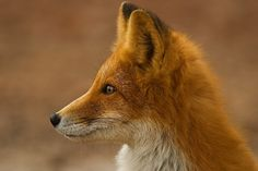 Chukotka animals: Lovely photos of Russian foxes by Ivan Kislov - 01