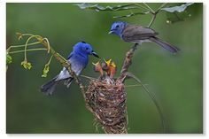 Black-naped Blue Monarch nests close to people. Even in the park .