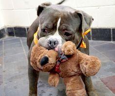 Rocky, el perro al que lo único que le queda antes de ser sacrificado es un peluche #perro #nuevayork #perros #newyork #dog #dogs #mascota #mascotas #animal #animales #adopta #adoptaperro #schnauzi