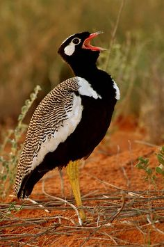The Northern Black Korhaan or White-quilled Bustard (Afrotis afraiddes) is a species of bird in the bustard family Otididae. It is found in Angola, Botswana, Lesotho, Namibia, and South Africa.