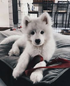 It looks like a husky pup and something else.