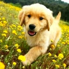My Golden puppies used to run through the fields and pull the tops off of the dandelions for fun.