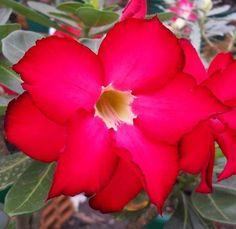 Rosa do Deserto cor Rosa bordas Vermelhas contorno Negro flor dupla Enxertada - Jardim Exótico - O maior portal de mudas do Brasil.