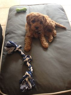 Cavoodle Puppy with his toys