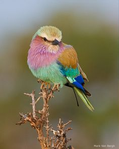 lilac-breasted roller by Mark Van Bergh - oh if we could mist the birds - they would all be this beautiful