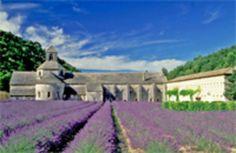 Lavender fields in Provence  Abbaye de Sénanque