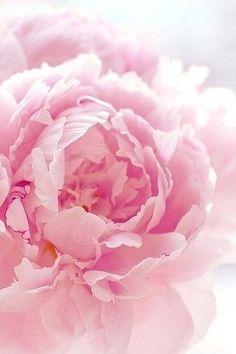 Love That One Petal With Darker Lines Pink Peonies Flowers Beautiful