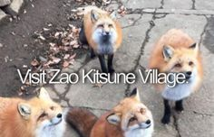 """""""The foxes at Zao Kitsune Village are friendly so you can enjoy their fluffiness from really close up!"""" - Miyagi Zao Fox Village, Japan"""