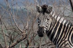 Zebra munching away at all the new shoots after the spring rains in Hluhluwe-Imfolozi game reserve, Kwazulu Natal, South Africa