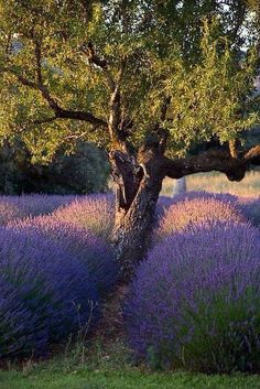 Happy Tree surrounded by Lavender