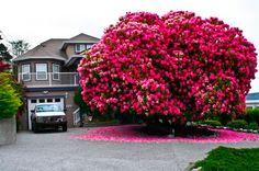 Rhododendron Tree, Ladysmith, British Columbia, Canada photo via... - Blue Pueblo