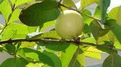 Escolher as árvores de um pomar: Goiabas