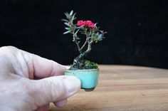 This is my smallest tea tree bonsai. As tea tree bonsai are so rare, this could well be the smallest in the world. Moss Garden, Garden Trees, Indoor Bonsai Tree, Bonsai Trees, Mame Bonsai, Plant Projects, Small Tea, Growing Gardens, Miniature Plants