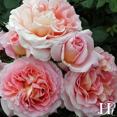Abraham Darby™️ is an outstanding old-fashioned rose that will produce 100 cupped to perfection blooms. Ruffled antique pink petals exude a sweet, flirtatious perfume.