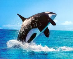 Despite being known as killer whales, orcas are a type of dolphin. Pictured: An orca breaching (file photo) Orcas, Save The Whales, Most Beautiful Animals, Killer Whales, Sea And Ocean, Ocean Life, Marine Life, Sea Creatures, Dolphins