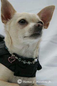 Chihuahua Corado, Chloe, sesión de fotos marzo '15