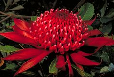 Telopea speciosissima or Waratah.  Native to Australia, it is the floral emblem of New South Wales.