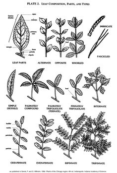 Leaf Composition, Parts, and Types vPlants