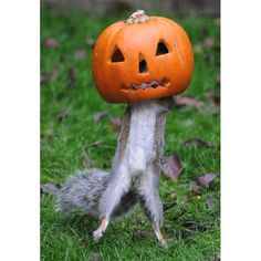 A grey squirrel checks out a pumpkin put out for Halloween in the garden of Vicky Freeman in Fareham, Hampshire. The squirrel appears to be trying the pumpkin out as a Halloween costume.