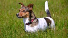 Come scegliere un cane di razza: il Jack Russell