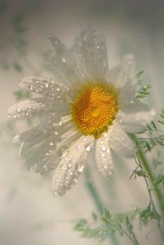 Daisy covered in morning dew