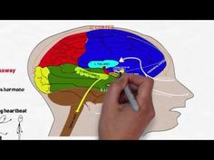 ▶ Your Brain on Stress and Anxiety - YouTube