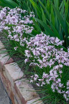 Tulbaghia Fairy Star Garden Hedges, Garden Paths, Garden Landscaping, Edging Plants, Star Shape, Perennials, Grass, Fairy, Cottage