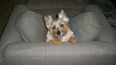 Norwich Terrier Teddy Joseph, frog obsessed terrier | Flickr - Photo Sharing!