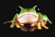 Morelet's tree frog (Agalychnis moreletii) by Douglas McCaffrey on 500px