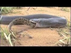 Anaconda Vs King Cobra