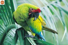 https://www.facebook.com/WonderBirdSpecies/ Great green macaw/Buffon's macaw (Ara ambiguus); Central and South America; IUCN Red List of Threatened Species 3.1 : Endangered (EN)(Loài nguy cấp) || Vẹt Macaw xanh lục lớn; Trung và Nam Mỹ; HỌ VẸT - PSITTACIDAE (True parrots).