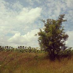 0x38f: Slunečnice / Sun-flowers (4) Sun Flowers, Vineyard, Country Roads, Plants, Outdoor, Instagram, Outdoors, Vine Yard, Vineyard Vines