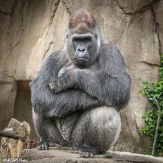 https://flic.kr/p/GhpGkQ | Cincinnati Zoo 4-19-16-3348 | Silverback Gorilla Jomo