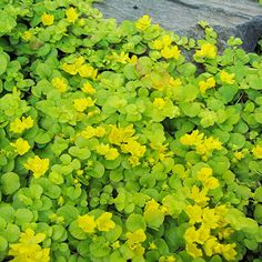 1000 ideas about lysimachia nummularia on pinterest pond plants coleus and bonsai seeds. Black Bedroom Furniture Sets. Home Design Ideas