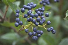 blue viburnum berry - Are you open to darker navy berries as accents? Or you only want the green berries in your inspiration pic?  I don't know if I can source green ones for you...but I can check.