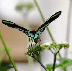 ~~Seen from behind, the amazing wings of Common Green Birdwing nectaring on Chaya by jungle mama~~