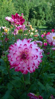 Beautiful Rose Flowers, Wonderful Flowers, Pink Flowers, Flower Background Wallpaper, Flower Backgrounds, All Plants, House Plants, Good Night Flowers, Dahlia Flower