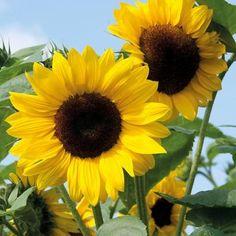 Blossom Garden, Blossom Flower, Photo Realism Tattoo, Planting Sunflowers, Sunflower Arrangements, Sunflower Pictures, Sunflower Wallpaper, Sunflower Flower, Flower Names