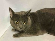 CHARKOL – A1105178 - 2yrs  MALE, GRAY, DSH - SO HANDSOME! 2 YEAR OLD CHARKOL NEEDS AN EXPERIENCED CAT PARENT TO ADOPT HIM!