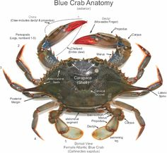 Anatomy of a Blue Crab