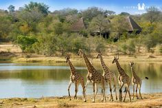 Wondering which lodges to stay in at the Greater Kruger National Park? We recommend five great lodges for your next safari in South Africa. Kruger National Park, National Parks, Chutes Victoria, Game Reserve South Africa, Sand Game, Queens, Saint Sauveur, Grand Parc, Barcelona