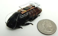 Search and Rescue Cockroach Cyborg - Alper Bozkurt of the North Carolina State University worked up a way to remotely control cockroaches: Their remote control system consists of two parts: antennae stimulators and another on their rear end. Cockroaches use their antennae to feel their way around the environment.