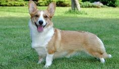Cardigan Welsh Corgis love everyone and are suited to many types of homes because they are so good natured. Learn all about Cardigan Welsh Corgi breeders, adoption health, grooming, training, and more. Corgi Breeders, Corgi Dog Breed, Cute Corgi Puppy, Welsh Corgi Puppies, Corgi Mix, Corgi Funny, Purebred Dogs, Dog Breeds, Welsh Corgi Cardigan